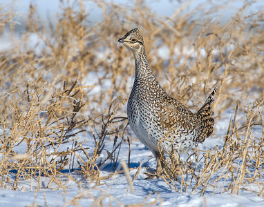 Sharp Tailed Grouse, Badlands National Park, SD