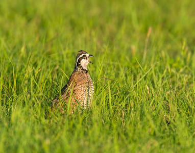 Northern Bobwhite Quail, Hackberry Flats Wildlife Management Area, OK