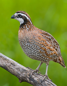 Bobwhite Quail, Hackberry Flats Wildlife Management Area, OK