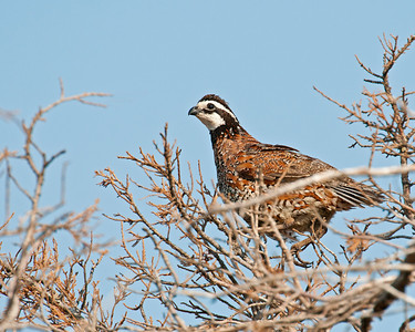 Bobwhite quail, Wichta Mountains Wildlife Refuge, OK
