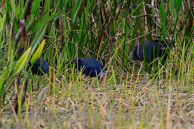 Gray-Headed Swamphens