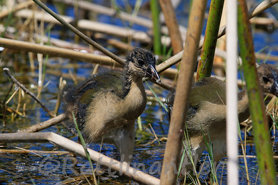 Purple Gallinule - juveniles