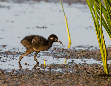 King Rail (chick), Hackberry Flats Wildlife Management Area, OK