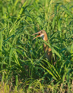 King Rail, Hackberry Flats Wildlife Management Area, OK