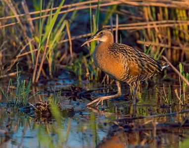 King Rail, Hackberry Flats Wildlife Management Area, OK