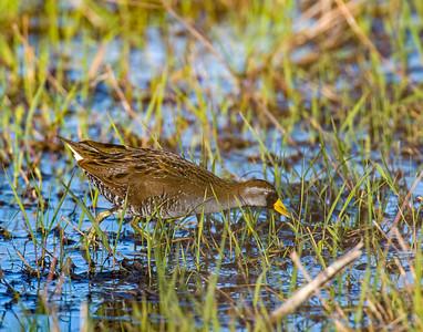 Sora, Hackberry Flats Wildlife Management Area, OK