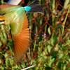 Merops ornatus, Rainbow Bee-eater. Darwin, NT, Australia. April 2007