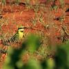 Merops ornatus, Rainbow Bee-eater. Rapid Creek, Darwin, NT, Australia. October 2009