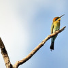 Merops ornatus, Rainbow Bee-eater. Rapid Creek, Darwin, NT, Australia. May 2010