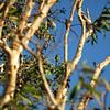 Merops ornatus, Rainbow Bee-eater. Fogg Dam Conservation Reserve, NT, Australia. June 2009