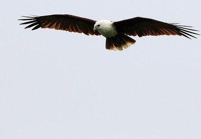 Brahminy Kite hunting on a foggy morning