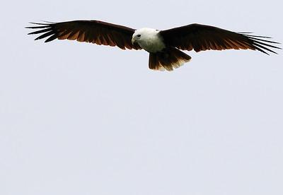 Brahminy Kite hunting on a foggy morning