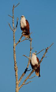 2 Brahminy Kites