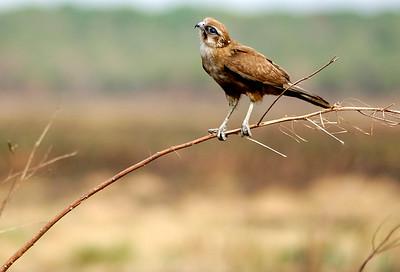 Juvenile Brown Falcon (Falco berigora) - Fogg Dam NT