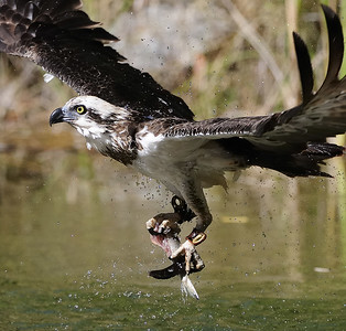 Captive Osprey taking bait