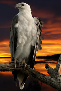 A Corroborree Sea-Eagle superimposed onto one of my sunset images.