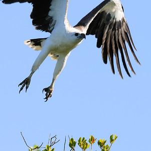 Sea Eagle swooping near mangroves