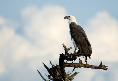 Sea Eagle - Corroborree NT
