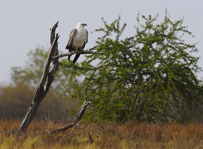 Large Sea Eagle resting on a cold and wet morning