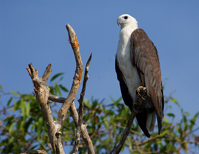 White Bellied Sea Eagle - Corroborree NT