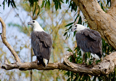 Pair of Sea Eagles