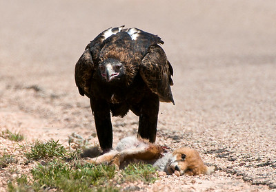 Wedgetail Eagle feasting on fox roadkill