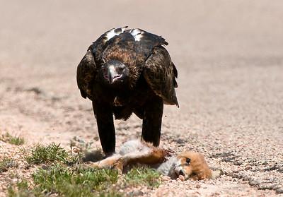 Wedgetail Eagle feasting on fox roadkill