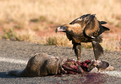 Wedgetail Eagle with roadkill