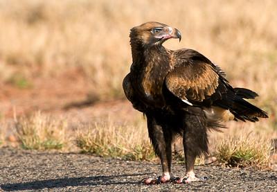 Wedgetail Eagle on roadside