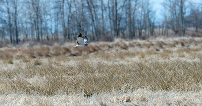 Flying Northern Harrier