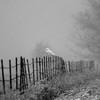SNOWY OWL IN A SNOW STORM