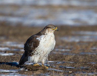 Hawk, Badlands National Park, SD