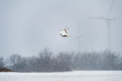 Snowy owl in a storm
