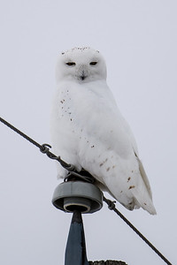 Bell Phone line with Owl