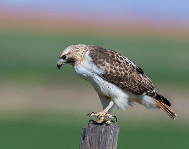Red-tailed Hawk, Tillman County, OK