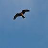 Red Kite over the Derwent Valley
