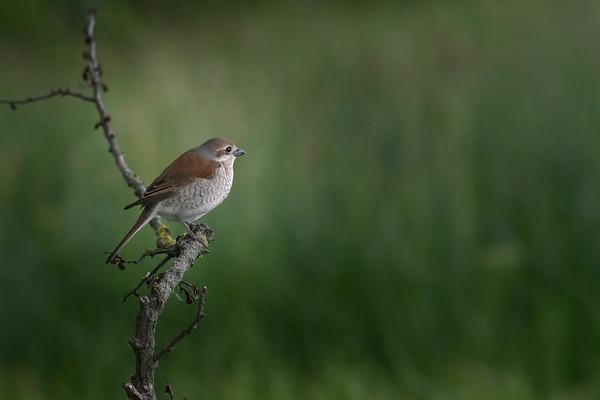 red-backed Shrike (female)