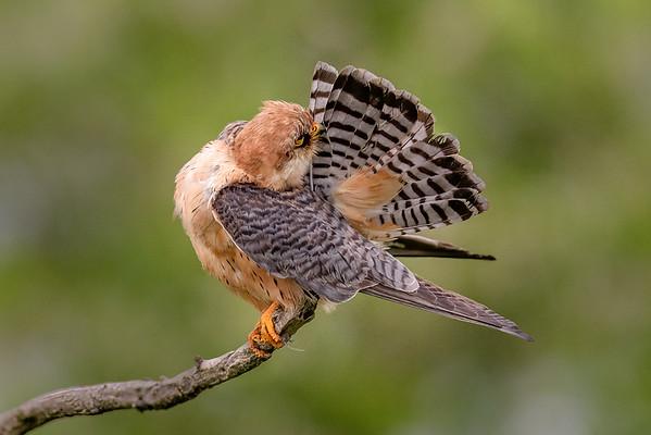 Falcon preeing