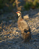 Perdiz roja y perdigones (Red-legged partridge)