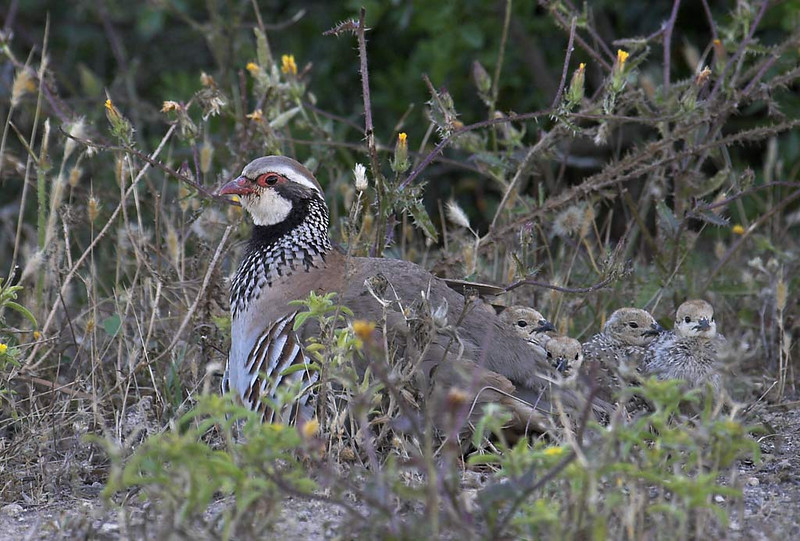 Perdiz roja y perdigones (Red legged partridge)