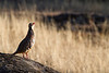 Male Red-legged Partridge (Alectoris rufa) Singing