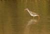 Redshank (Tringa totanus)- Archibebe común