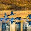 20131215-Ring-necked Ducks-0089