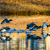 20131215-Ring-necked Ducks-0088