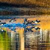 20131215-Ring-necked Ducks-0087