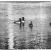 20131215-Ring-necked Ducks-0021-Edit-2