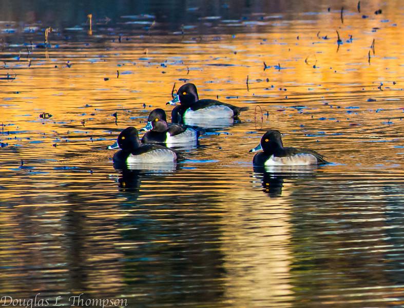 20131215-Ring-necked Ducks-0068