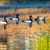20131215-Ring-necked Ducks-0085