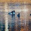 20131215-Ring-necked Ducks-0021
