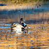 20131215-Ring-necked Ducks-0084
